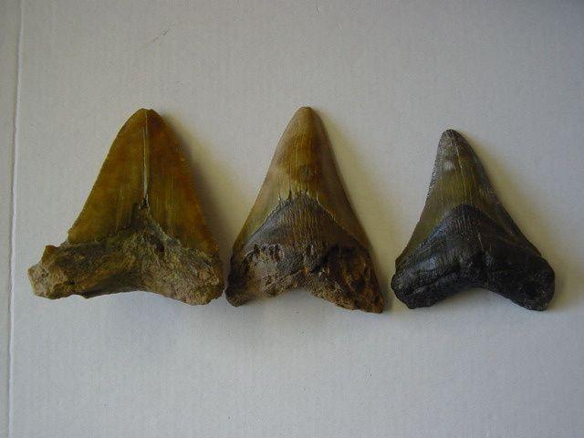 <p>Album faunistique de la région de Boom, Belgique.</p><p>Les pièces sont datées de l'Oligocène au Quaternaire.</p><p>Elles appartiennent toutes à ma collection personnelle.</p><p>Phil « Fossil »</p>