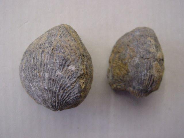 """<p>Les principaux fossiles que l'on peut découvrir dans un rayon de 30 kilomètres autour de Couvin.</p><p>Phil """"Fossil""""</p>"""