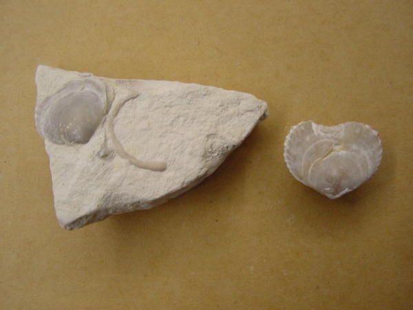 """<p>Les principaux fossiles découverts autour de Visé.</p><p>Phil """"Fossil""""</p>"""