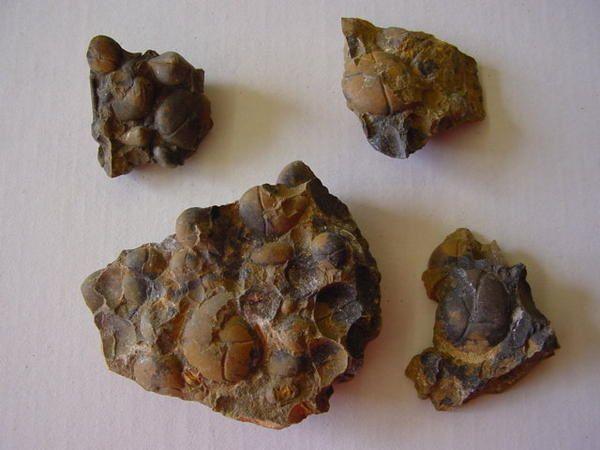 <p>L'Album de la faune paléozoïque marocaine vous permet la détermination des spécimens découverts ou acquis en bourse.</p><p>Les spécimens appartiennent à notre collection.</p><p>Phil « Fossil »</p>
