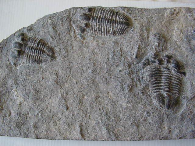 """<P>Ces pièces sont pour l'instant indéterminées, que cela soit au niveau du genre et/ou de l'espèce, ou au niveau du site de provenance.</p><p>Si vous avez une idée, merci de nous en faire part !</p><p>Thanks !</p><p>Phil """"Fossil""""</p>"""