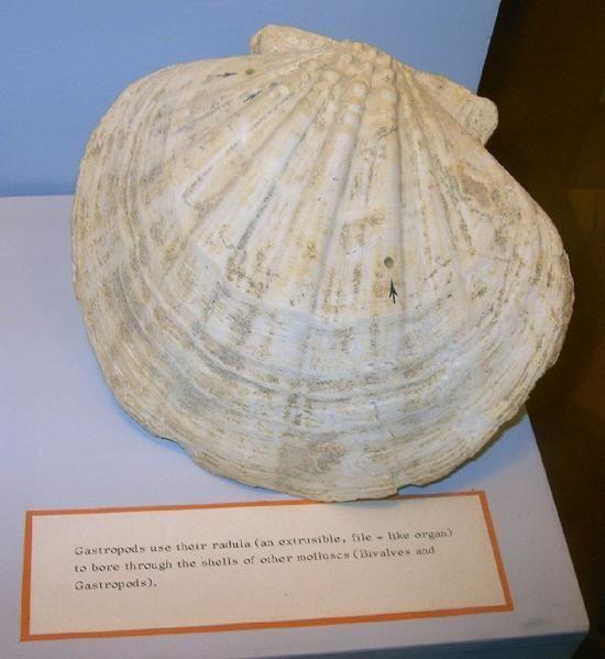 <p>Cet album vous présente des prises de vue de notre voyage maltais de janvier 2006, notamment une variété de fossiles exposés au Muséum de Mdina.</p><p>Ce pays riche en fossiles est également une destination rêvée pour l'archéologie et la préhistoire.</p><p>Bon voyage virtuel !</p><p>Phil « Fossil »</p>