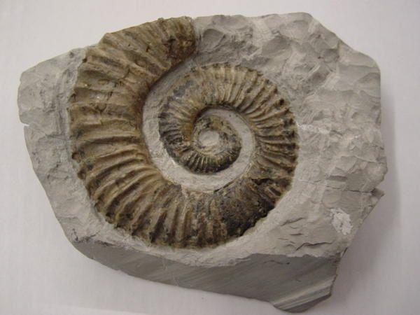 """<p></p><p>L'un des groupes """"chouchou"""" des collectionneurs, les ammonites hétéromorphes ou déroulées possèdent des représentants depuis le Jurassique moyen.</p><p>Tous les spécimens présentés appartiennent à ma collection personnelle.</p><p>Bon amusement !</p><p>Phil """"Fossil""""</p><p></p>"""