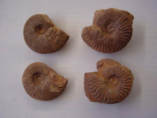 """<p></p><p>Aaaah les ammonites ! Les fossiles par excellence ! Probablement, grâce à leur forme en spirale parfaite, les fossiles les plus appréciés !</p><p>Voici quelques spécimens sélectionnés pour le plaisir des yeux.</p><p>Tous proviennent de ma collection privée.</p><p>Bon amusement !</p><p>Phil """"Fossil""""</p>"""
