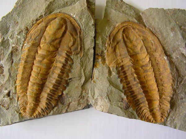 """<p>Les Arthropodes sont de très beaux fossiles très recherchés par les amateurs. </p><p>Ils incluent les trilobites, crustacés, insectes, cirripèdes, et les ostracodes.</p><p>Voici quelques pièces sélectionnées de ma collection privée.</p><p>Bon amusement !</p><p>Phil """"Fossil""""</p><p></p>"""