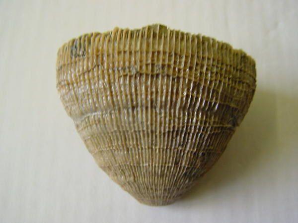 """<p></p><p>Les coraux fossiles sont, comme les éponges, des organismes fréquemment négligés par les amateurs. </p><p>Pourtant leur esthétique et leur grande variété en fait un groupe agréable à étudier et à collectionner.</p><p>Les quelques pièces ici présentées appartiennent toutes à ma collection.</p><p>A plus !</p><p>Phil """"Fossil""""</p><p></p>"""