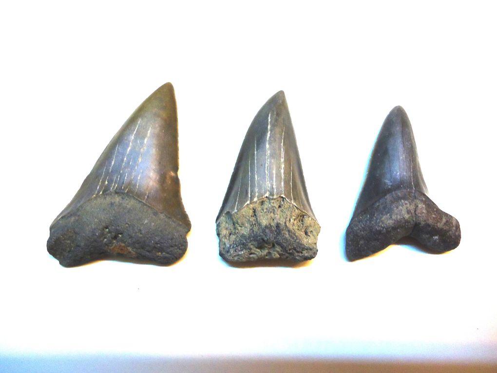 <P>Les fossiles malformés ou pathologiques sont indubitablement des raretés.</P><P>La malformation provient soit d'une mutation, soit d'une attaque par un prédateur.</P><P>Toutes les classes d'organismes sont concernées, néanmoins les vestiges de requins fossiles sont majoritaires dans notre collection « pathologique ».</P>