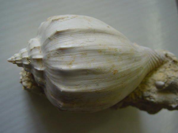 """<p></p><p>Ah, les gastropodes (ou gastéropodes) ! Superbes de par leur forme en spirale, ils sont très appréciés non seulement des amateurs paléontologues mais aussi des amateurs de coquillages actuels.</p><p>Découverts sur quasiment tous les sites à fossiles depuis le Paléozoïque inférieur, ils se présentent sous une infinité devariétés !</p><p>Ici présentés un petit florilège de pièces extraites dema collection privée !</p><p>Bon amusement.</p><p>Phil """"Fossil""""</p><p></p>"""