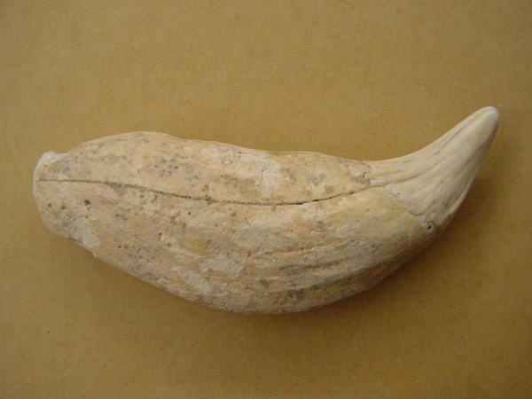 """<p></p><p>Les mammifères sont des fossiles très recherchés par les amateurs, ils datent principalement du Quaternaire mais des spécimens plus anciens sont connus, marins comme terrestres.</p><p>Les restes sont essentiellement des dents ou ossements isolés.</p><p>Tous appartiennent à ma collection.</p><p>Bon amusement !</p><p>Phil """"Fossil""""</p><p></p>"""