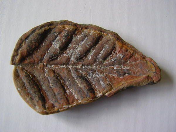 """<p></p><p>Un peu les """"mal-aimés"""" parmi les amateurs de fossiles ces végétaux, certains amateursse sont malgré tout spécialisés dans le règne végétal.</p><p>Les fossiles de plantes sont néanmoins parmi les plus esthétiques et se trouvent en grande quantité sur les terrils de notre petite Belgique et du Nord de la France.</p><p>Ces pièces représentent une petite fraction du matériel disponible dans ma collection personnelle.</p><p>Je vous souhaite une excellente visite !</p><p>Phil """"Fo"""