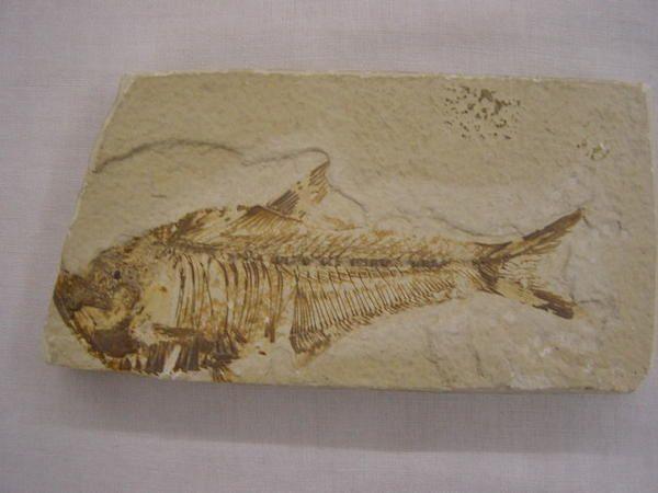 """<p></p><p>Les poissons fossiles sont fossilisés soit sous forme fragmentaire, c-à-d dents, palais dentaires, rostres, épines soit sous forme plus ou moins complète.</p><p>Les fossiles """"complets"""" sont sous forme squelettique en général, mais le Brésil l'Alsace et l'Allemagne fournissent des spécimens ayant lesécailles préservées.</p><p>Toutes les pièces que vous pouvez admirer ici appartiennent àma collection privée.</p><p>Bon amusement !</p><p>Phil """"Fossil""""</p><p></p>"""
