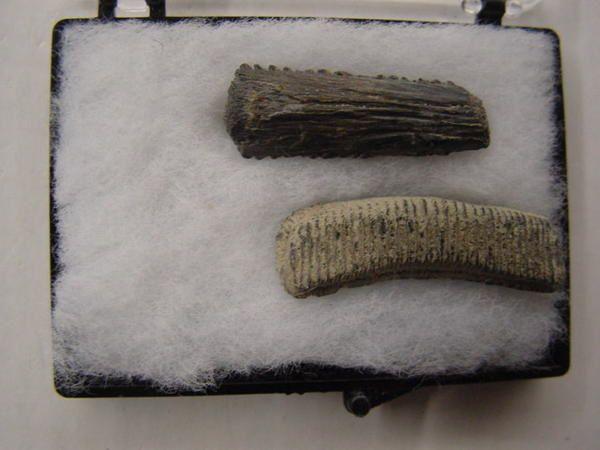 <p>Les raies sont des poissons cartilagineux, comme les requins et les chimères, et comme ces derniers seules leurs dents ou plaques dentaires peuvent se fossiliser.</p><p>On découvre surtout des dents isolées, les plaques comprenant plusieurs dents en connexion sont nettement moins courantes.</p><p>Certains sédiments anversois fournissent également des épines dorsales présentes dans la peau du dos de certaines espèces.</p><p>Les pièces ici présentées, trouvées essentiellement en Belgique,