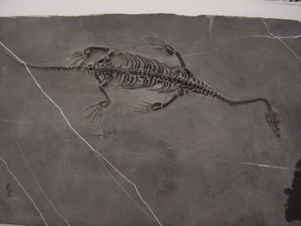 <p>&nbsp&#x3B;</p><p>Les reptiles sont connus g&eacute&#x3B;n&eacute&#x3B;ralement par des restes fragmentaires, dents et ossements isol&eacute&#x3B;s, n&eacute&#x3B;anmoins certains s&eacute&#x3B;diments d&eacute&#x3B;pos&eacute&#x3B;s en eaux calmes par exemple fournissent des squelettes plus complets.</p><p>Nous avons &eacute&#x3B;galement inclus les restes de dinosaures dans cet album.</p><p>Toutes ces pi&egrave&#x3B;ces appartiennent &agrave&#x3B; ma collection priv&eacute&#x3B;e.</p><p>Bonne visite !</p><p>Phil &quot&#x3B;Fossil&quot&#x3B;</p>