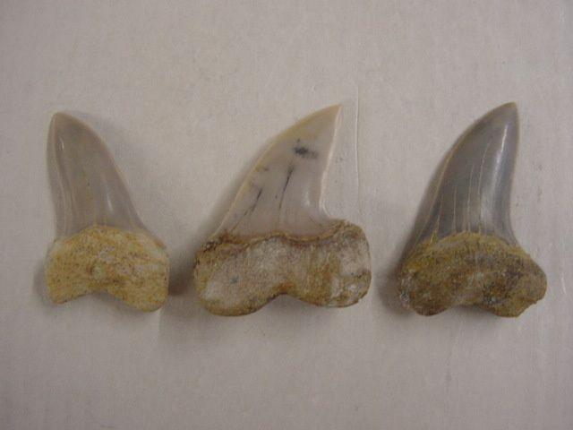 """<p>Une de mes passions parmi les fossiles, les dents de requins. Trouvées en abondance en Belgique, mais des échanges et achats m'ont permis de me constituer une importante collection du Monde entier.</p><p>Les quelques pièces ici présentées sont datées du Permien (250 millions d'années) au Pliocène. (3 millions d'années)</p><p>Bonne visite !</p><p>Phil """"Fossil""""</p><p></p>"""