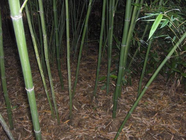 Album - bambou
