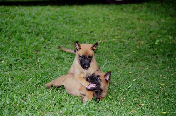 Ma race de chiens préférée - mes propres chiens