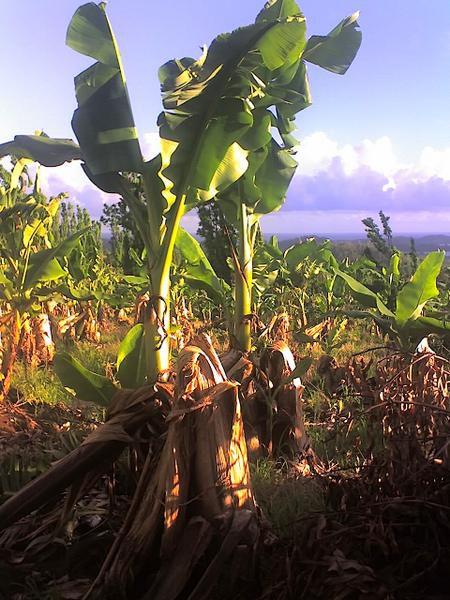 maisons détruites, champs de bananes dévastés, arbres déracinés...
