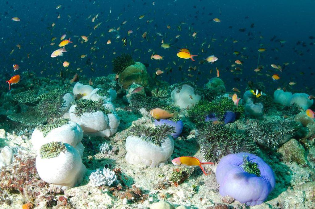 Photos sous-marines réalisées en février 2009 : raies manta, requins, napoléons, bancs de poissons...Appareil photo : Nikon D70, caisson Subal.