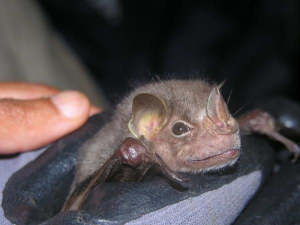 Bats of Guadeloupe