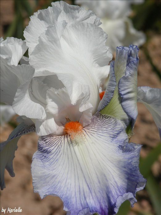 Iris Cayeux