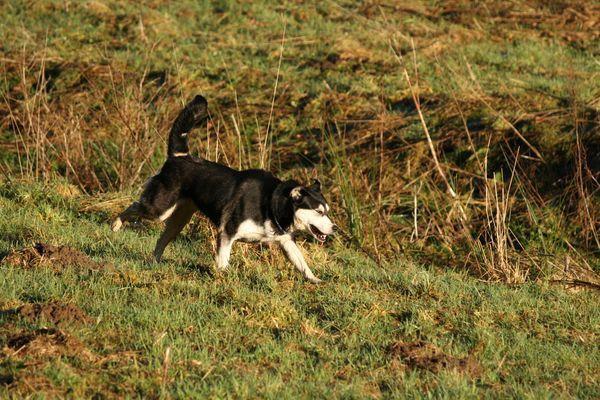 Femelle croisée Husky de trois ans à adopter.
