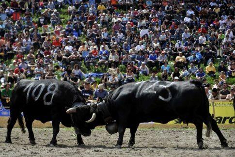 """Manathan sacée reine cantonale 2009..Aproz(valais). Grosse déception lors de la finale cantonal de la race D'Hérens à Aproz.La favorite, """" Tina"""", n'a tenu que quelques minutes lors du combat des vaches de première catérogie."""