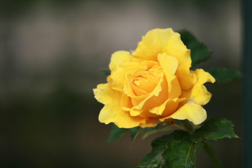 un après midi de maii, à la roseraie de l'Hay les roses .... un délice odorant aux effluves célestes