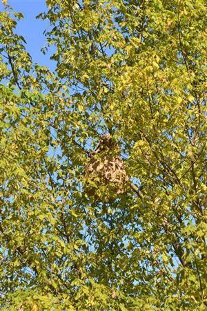 Photos transmises par Ph.GAULARDpour mieux reconnaitre le FRELON ASIATIQUE, et le faire pièger et faire détruire les nids