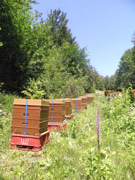 quelques images prises dans nos ruchers dijonnais et  Bourgogne lors de nos travaux apicoles