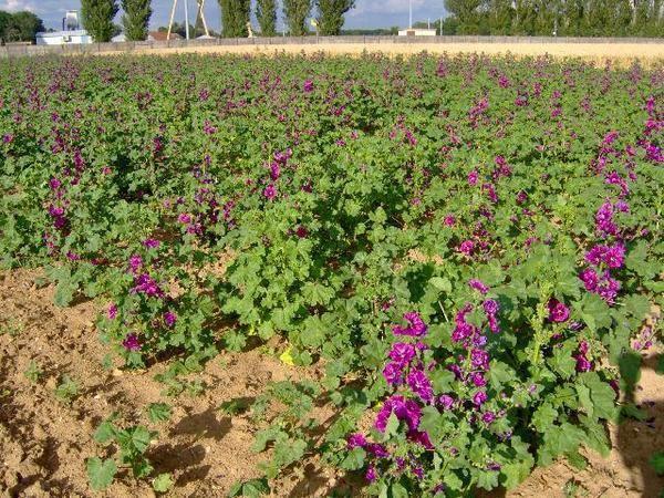 <em>fleurs mellifères et/ou pollenifères entourant nos ruchers de Bourgogne, publiées au fur et à mesure de leur épanouissement</em>