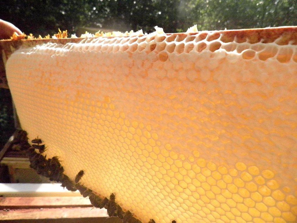 nos miels récoltés en nos ruchers des  alentours dijonnais