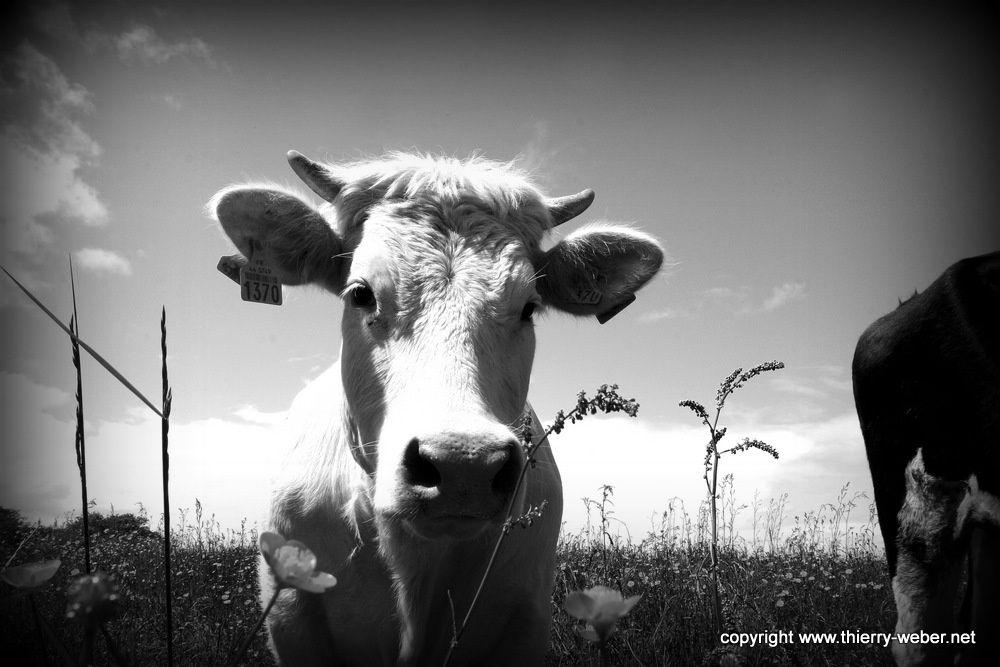 Album - Peaux de Vaches