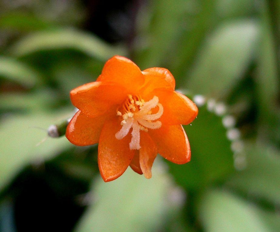 Divers genres de cactées aux longues tiges succulentes ou semi-succulentes, poussant en suspension dans les arbres ou les rochers.