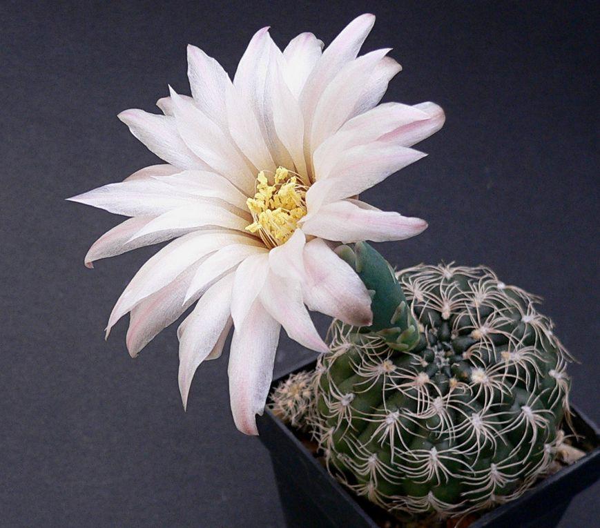 Plantes au port habituellement bas et à la spination très variable. Les fleurs se caractérisent par leur calice nu et écailleux. Le genre a une vaste aire de répartition dans les 2 tiers sud de l'Amérique du sud. Album des espèces de A à M.