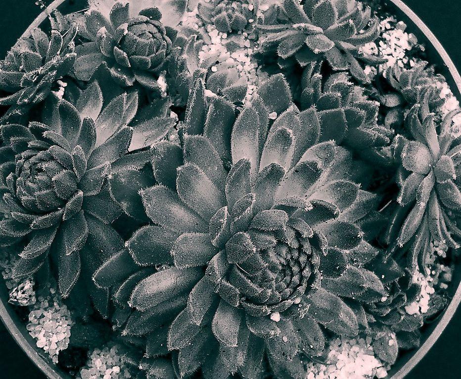 Photos monochromes qui font ressortir le côté graphique des plantes succulentes.