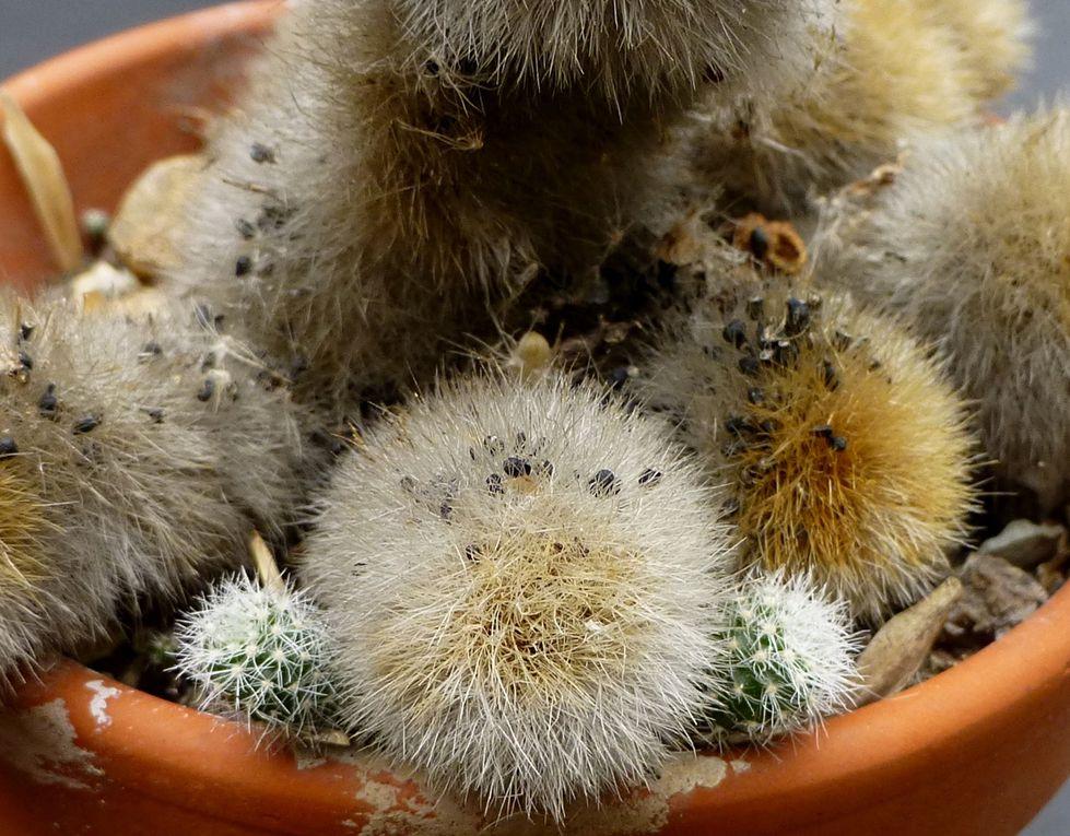Semis de cactées et autres plantes succulentes. Semis volontaires ou spontanés.