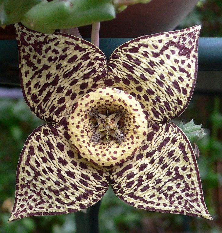 Ancienne famille des Asclepiadacées. Sous-famille des stapéliées : plantes succulentes africaines et du proche Orient, avec des fleurs colorées et souvent spectaculaires.
