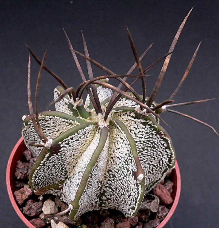 Cactus globulaires des zones chaudes et sèches de l'Amérique centrale, avec une diversité d'espèces assez limitée. Cependant, de nombreux cultivars ont vu le jour. Fleurs jaunes, avec ou sans cœur rouge suivant les sous-genres.