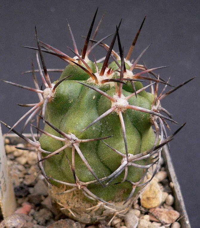 Plantes de croissance lente que l'on trouve principalement dans la partie sud et ouest de l'Amérique du sud, qui poussent dans des conditions particulièrement arides et un substrat très minéral.Les fleurs apicales sont souvent jaunes.