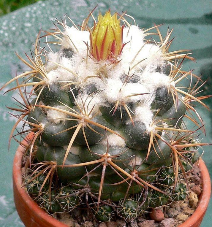 cactées globulaires aux tubercules proéminents et hémisphériques, et aux épines souvent très esthétiques. Fleurs apicales jaunes ou roses.
