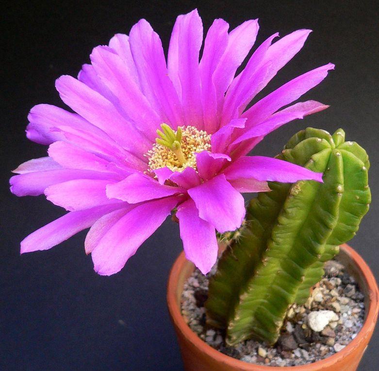 Petits cierges du Mexique et de l'ouest des Etats-Unis. Ils sont plus ou moins épineux, souvent de très bonne résistance au froid, et ont de grandes fleurscolorées et de longue durée.