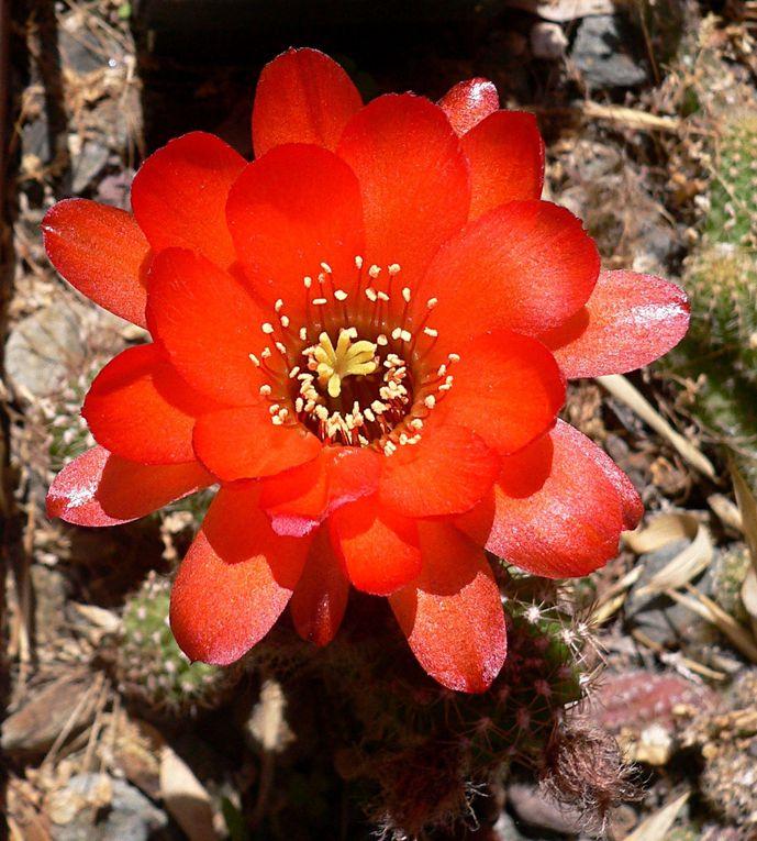Les Echinopsis, incluant les Lobivia, sont des plantes de tailles très variées, avec une aire de répartition très étendue dans les 2 Amériques. Ils donnent souvent de grosses fleurs spectaculaires, souvent parfumées, de courte durée de vie.