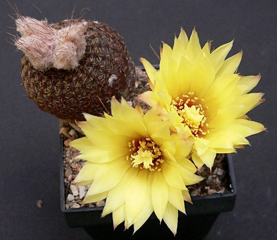 Petites plantes globulaires, qui émergent parfois à peine du sol dans leur milieu naturel.Les fleurs, très précoces et très fréquentes,ne s'ouvrent pas toujours et sont autofertilisées à l'intérieur du bouton par cleistogamie.