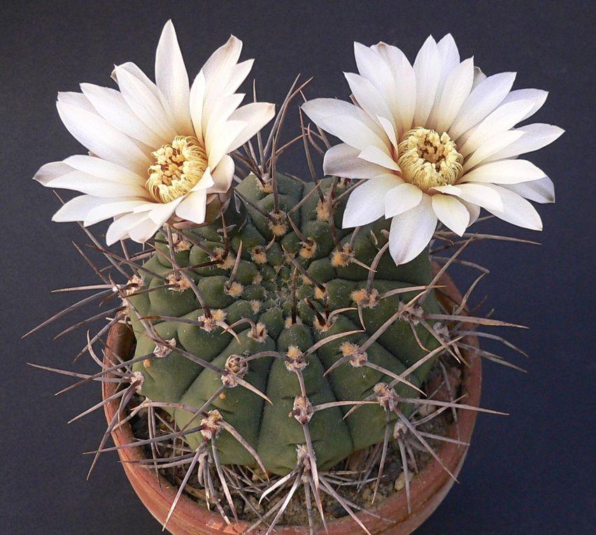Plantes poussant souvent au raz du sol et à la spination très variable. Fleurs de couleur blanche, jaune à rouge. Pour la classification et l'évolution du genre : voir les 2 articles sur ce site. Album des espèces de N à Z.