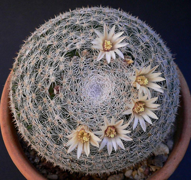 Très vaste genre (probablement polyphylétique) d'Amérique centrale, Mexique, sud des USAet Caraïbes, caractérisé par les mamelons sur les tiges et des fleurs disposées en couronne. Plantes populaires et de culture souvent facile.