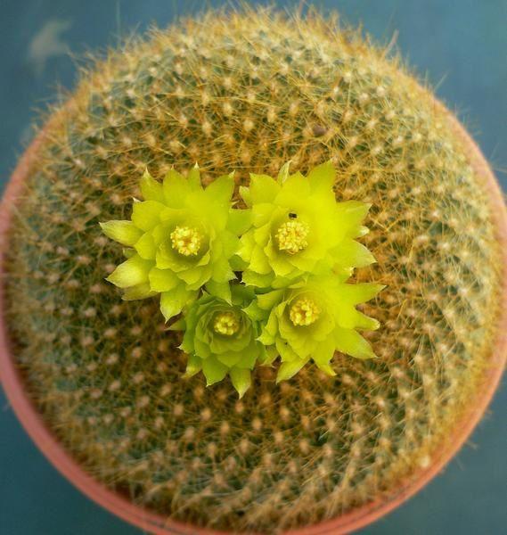 Les genres Parodia et Notocactus ont été regroupés sous le seul nom Parodia. Genre présent en Amérique du sud, principalement dans sa partie ouest. Fleurs très colorées, souvent en bouquet sur le sommet de la plante. Culture facile.