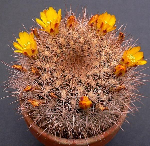 Plusieurs genres sont regroupés de manière artificielle (Sulcorebutia, Mediolobovia, Aylostera, Rebutia et Weingartia). Petites plantes d'altitude qui forment de nombreux rejets et de nombreuses fleurs en trompettes (sauf Weingartia).