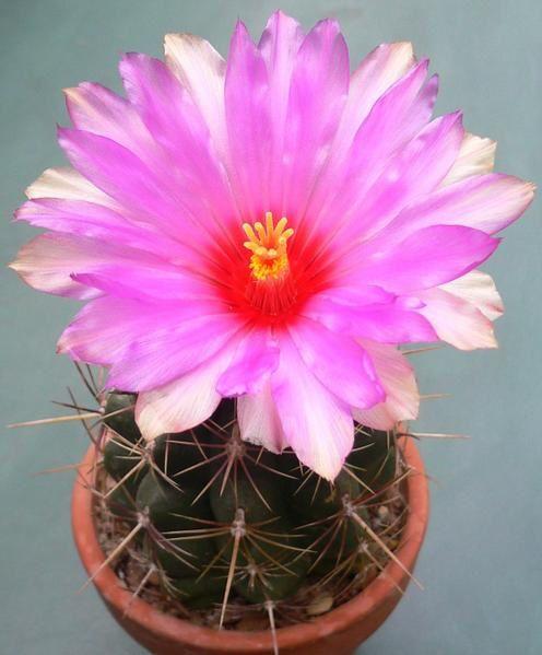 Genre de cactées répandu dans le sud des État-Unis et au Mexique. Plantes avec des mamelons proéminents. Fleurs blanches ou colorées, sur le sommet de la tige. Culture facile.