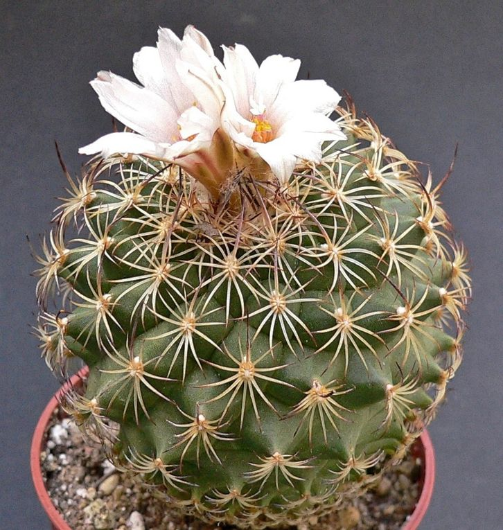 Plusieurs genres ont été regroupés sous le genre Turbinicarpus. Cactées du Mexique, de petites tailles, globulaires ou en massues,avec desfloraisons apicales faciles et répétées.