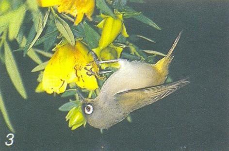 Pour l'ann&eacute&#x3B;e 2006, l'association Nature &amp&#x3B; Patrimoine a comptabilis&eacute&#x3B; 42 oiseaux nicheurs :&nbsp&#x3B; 19 indig&egrave&#x3B;nes et 23 introduits. A travers les fiches Patrimoine &agrave&#x3B; pr&eacute&#x3B;server, nous vous proposons ici de d&eacute&#x3B;couvrir les esp&egrave&#x3B;ces end&eacute&#x3B;miques de La R&eacute&#x3B;union, puis les esp&egrave&#x3B;ces indig&eacute&#x3B;nes et enfin les fiches&nbsp&#x3B; introduites.